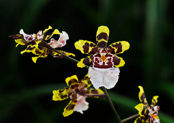 Photograph - Oncidium Sweet Sugar K Orchid by Ginger Wakem