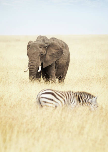Wall Art - Photograph - One Elephant And Zebra In Africa by Susan Schmitz