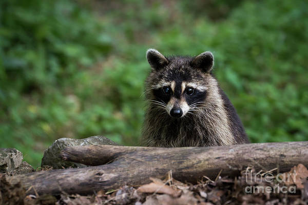 Photograph - One Eyed Bandit by Andrea Silies