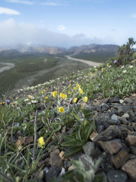 Photograph - One-flower Cinquefoil by Ian Johnson