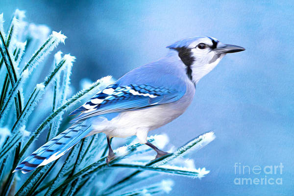 Blue Jay Photograph - One Frosty Morning by Laura D Young