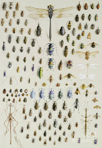 One Hundred And Fifty Insects, Dominated At The Top By A Large Dragonfly Art Print