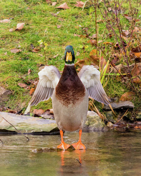 Greenhead Photograph - One Mighty Duck by Phillip Beyser