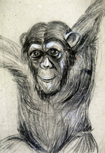 Charcoal Drawing - One Of A Kind Original Chimpanzee Monkey Drawing Study Made In Charcoal by Marian Voicu