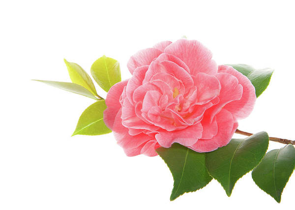 Camelia Photograph - One Pink Camellia by Sheila Fitzgerald