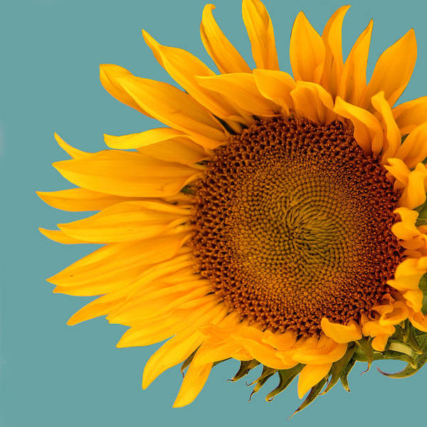 Wall Art - Photograph - One Sunflower Loving Vincent by William Dey