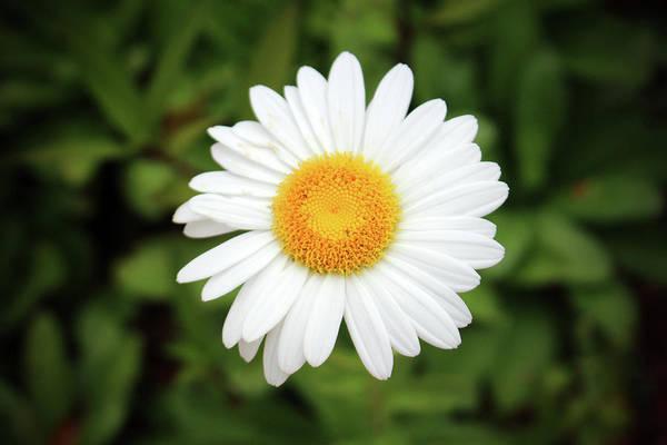 Photograph - One White Daisy by Cynthia Guinn
