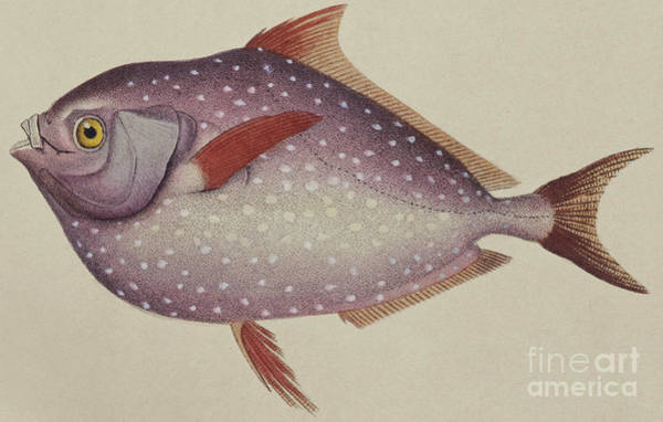Angling Art Wall Art - Painting - Opah by German School