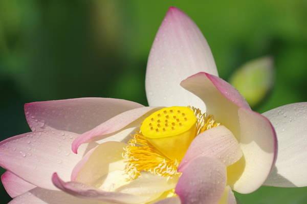 Photograph - Open Lotus by Buddy Scott