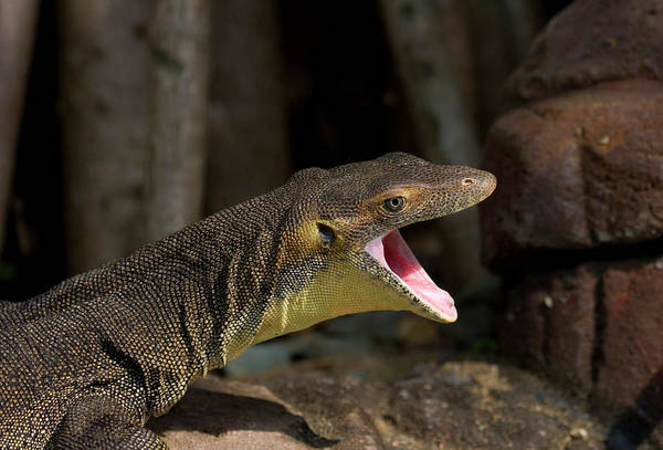 Lizard Photograph - Open Wide by Mike  Dawson