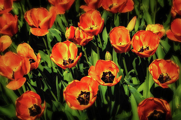 Bed Photograph - Open Wide - Tulips On Display by Tom Mc Nemar