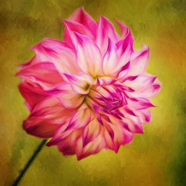 Photograph - Opening Dahlia by Mary Jo Allen