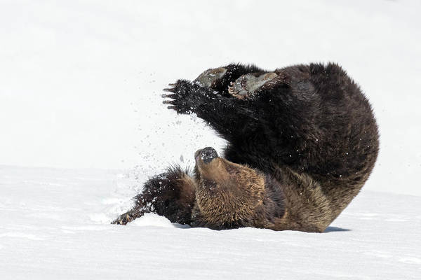 Grizzly Bears Photograph - Opening Day by Sandy Sisti