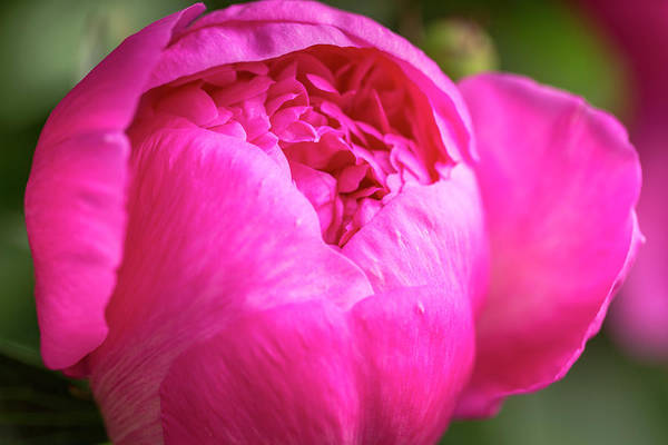 Photograph - Opening Peony Flower by Teri Virbickis