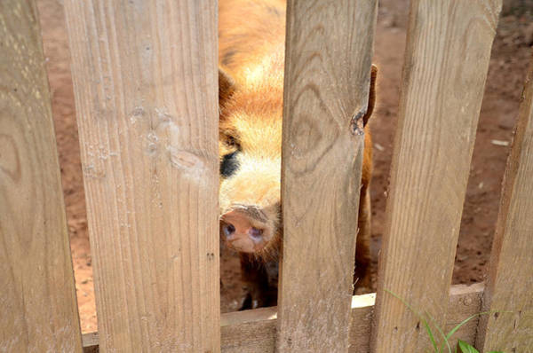 Pigpens Photograph - Opie by Charles Bacon Jr