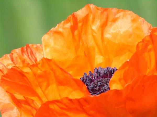 Photograph - Opium Poppy by Barbara St Jean