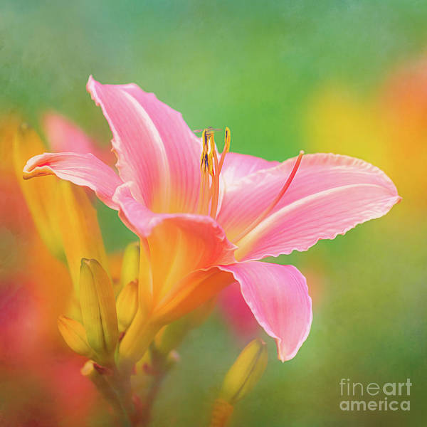 Photograph - Oporto Daylily With Hoverfly by Anita Pollak