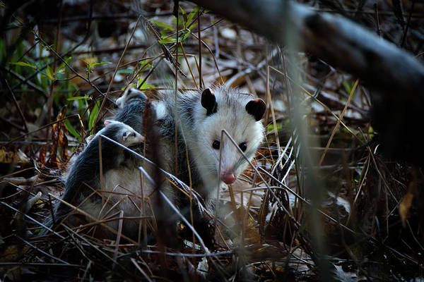 Photograph - Opossums Riding Mother by Bob Orsillo