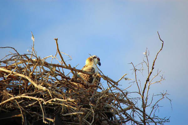 Wall Art - Photograph - Opsrey In Nest by Rich Leighton