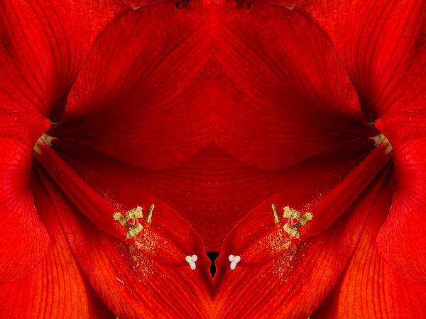 Photograph - Orange Amaryllis Hippeastrum Close-up Double by James BO Insogna