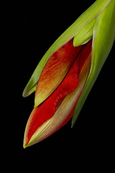 Photograph - Orange Amaryllis Hippeastrum In The Beginning 2-21-10 by James BO Insogna