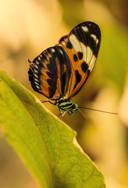 Photograph - Orange And Black Butterfly On The Green Leaf by Jaroslaw Blaminsky