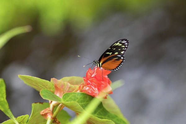 Photograph - Orange And Black Butterfly by Raphael Lopez