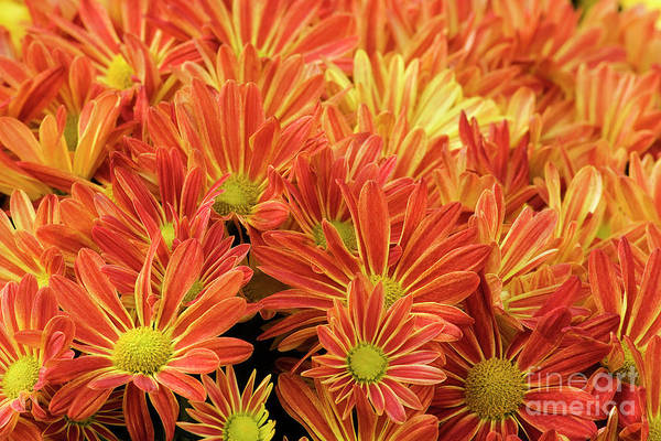 Photograph - Orange And Gold Mums by Jill Lang