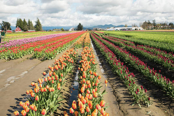 Photograph - Orange And Gold Tulips And Gray Clouds by Tom Cochran