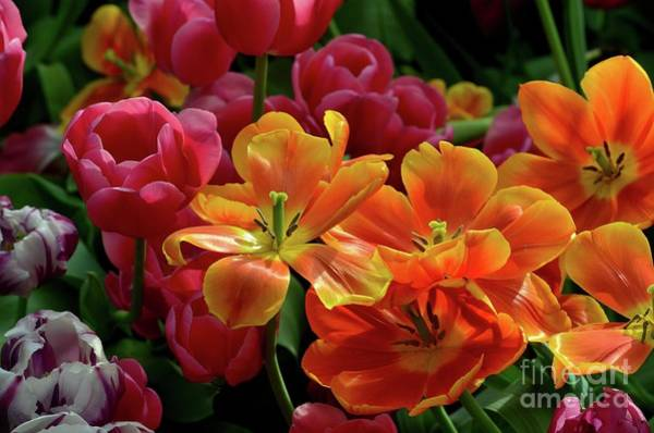 Photograph - Orange And Red Tulip Lilies In Various Stages Of Bloom by Imran Ahmed