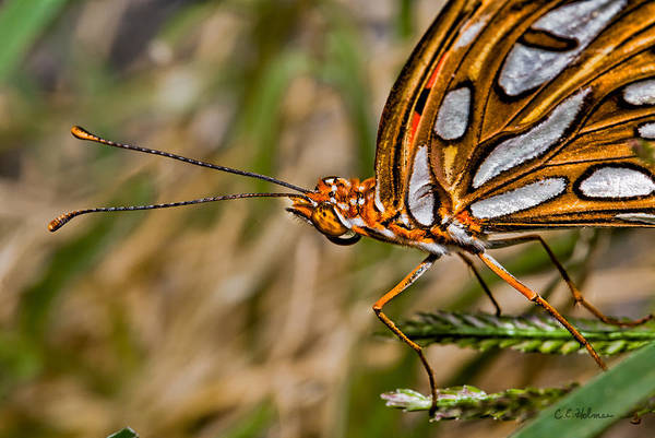 Photograph - Orange And White Buterfly by Christopher Holmes