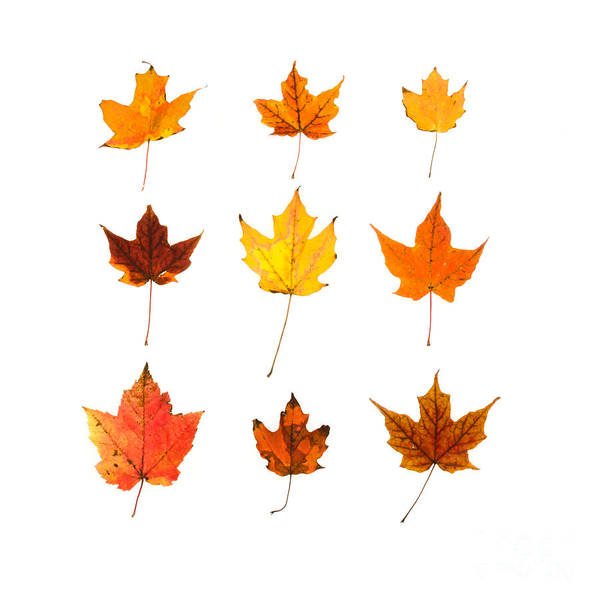 Acer Saccharum Photograph - Orange And Yellow Autumn Leaves by Jennifer Booher