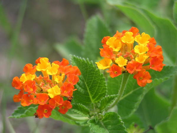 Photograph - Orange And Yellow Lantana by Adam Johnson