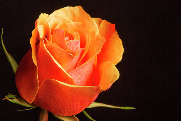 Photograph - Orange And Yellow Rose 5534.02 by M K Miller