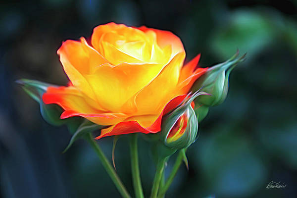 Photograph - Orange And Yellow Rose by Diana Haronis
