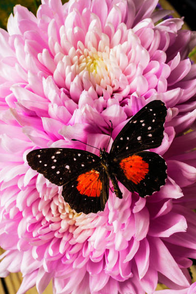 Single Leaf Wall Art - Photograph - Orange Black Butterfly On Pink Mum by Garry Gay