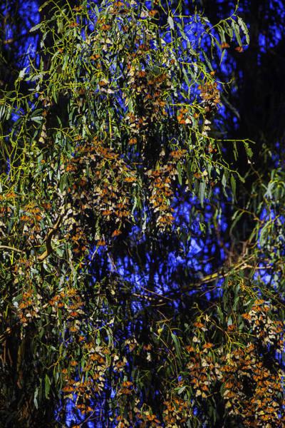 Eucalyptus Photograph - Orange Black Monarchs by Garry Gay
