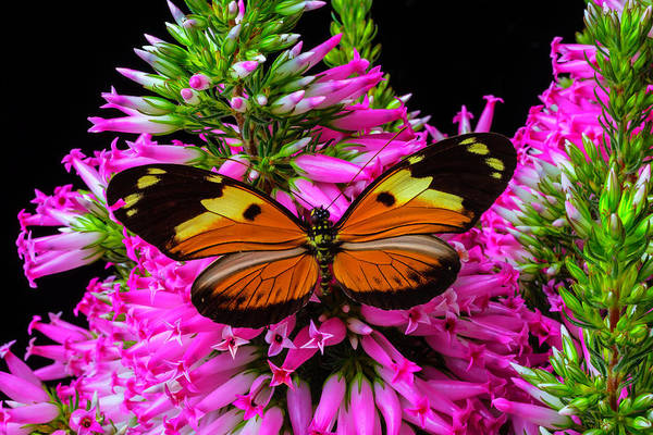 Butterfly Bush Wall Art - Photograph - Orange Black Winged Butterfly by Garry Gay