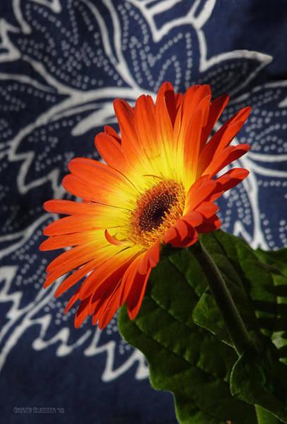 Native Garden Wall Art - Photograph - Orange Burst Gerbera Flower by Garth Glazier