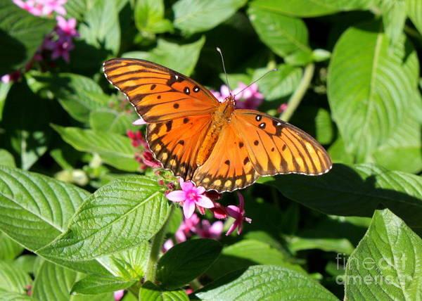 Photograph - Orange Butterfly by Carol Groenen