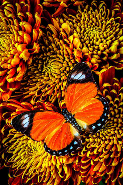 Mum Photograph - Orange Butterfly On Spider Mums by Garry Gay