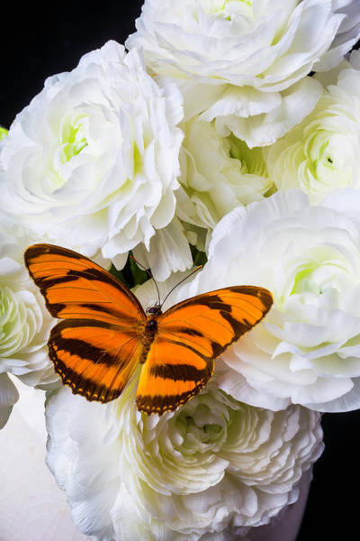 Ranunculus Photograph - Orange Butterfly On White Ranunculus by Garry Gay