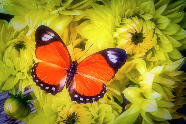 Photograph - Orange Butterfly On Yellow Dahlias by Garry Gay