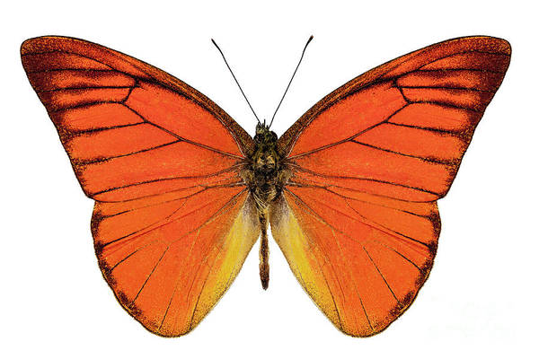 Arthropods Painting -  Orange Butterfly Species Appias Nero Neronis  by Pablo Romero