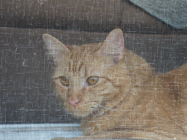 Photograph - Orange Cat Behind A Screen by Guy Whiteley