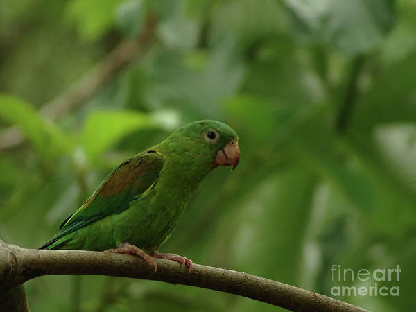 Orange-chinned Parakeet  Art Print