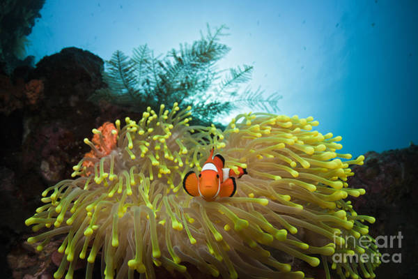 Pomacentridae Photograph - Orange Clownfish by Reinhard Dirscherl