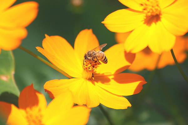 Photograph - Orange Coreopsis And Honey Bee by Sheila Brown