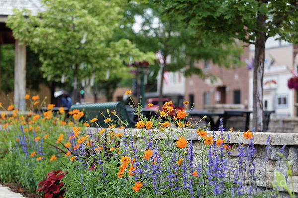 Photograph - Orange Cosmos Flowers Downtown Decorah Iowa  by Kari Yearous