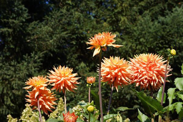 Wall Art - Photograph - Orange Dahlia Flower Garden Art Prints by Baslee Troutman Floral Art Prints